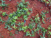 Seed covering and dry periods in the rainy season interfere with direct seeding success in the restoration of post-mined grasslands