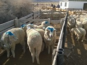 The use of nutritional blocks as a tool for grazing management in extensive sheep husbandry